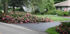 Flower Carpet roses flanking a driveway. Photo courtesy Dave Epstein, Growing Wisdom.com