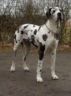 Harlequin Great Dane- would absolutely love have one of these dogs in my family.