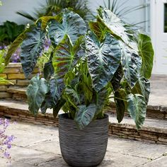 Have you been dreaming of Hawaii lately? Meet Aloha Elephant Ear, Colocasia esculenta Aloha, brand new and available from our friends over at K van Bourgondien. Aloha Colocasia will help your sun room, garden or patio have that tropical touch you'll want next spring. Order yours today and get free shipping on orders $99+ with our offer code (3636712) #colocasiaaloha #hawaii #tropicaleffect #elephantears #colocasiaescelenta #kvanbourgondien #gardenanswers #mygardenanswers #thegardenshop Shade Plants, Green Plants, Tropical Plants, K Van Bourgondien, Black Elephant Ears, Plant Order, Sandy Soil, Black Leaves, Clay Soil
