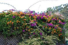 Seasonal Care of Pink Bower Vine Plant
