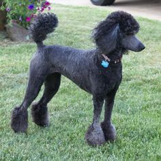 Pictures of Standard Poodle Dog Breed Dog Haircuts, Cute Haircuts, Black Standard Poodle, Standard Poodles, Poodle Haircut Styles, Poodle Cuts, Poodle Grooming, Dog Grooming Business, Labradoodle