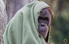 P. abelii (Pongo) or the Sumatran Orang-utan - http://www.travishale.com/orangutan/?utm_source=PN&utm_medium=Pintrest_TH&utm_campaign=SNAP%2Bfrom%2BTravis+Hale