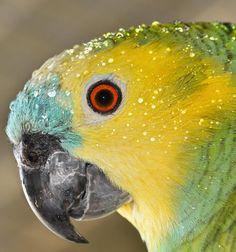 Parrot (Australia).