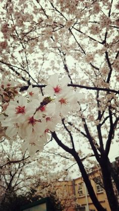 벚꽃 cherry blossom