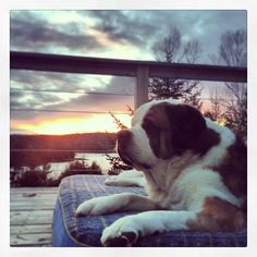This Saint Bernard has the life!  Perfect spot for an L.L.Bean dog bed.  Photo via Instagram @tophermallory