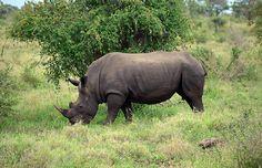 Rhinocéros - Parc de Hluhluwe