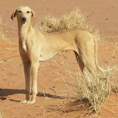 Azawakh  This West African sighthound makes a fiercely protective companion and guardian, and an extremely intelligent lure courser. The breed is elegantly built and features a short coat in a wide variety of colors and markings.  20 of the World's Rarest Dog Breeds | Adventure Companion | OutsideOnline.com
