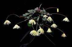 Bulbophyllum othonis - Flickr - Photo Sharing!