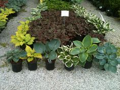 Several varieties of hostas to chose from.