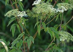 Cicuta maculata spotted hemlock