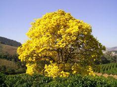 Ipe Amarelo Florido | Olho o ipê florido.