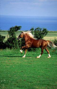 Morgan Stallion My favorite breed of horse!