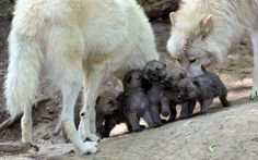 All About Wolves | Howls To All… » Wolf Family fanpop