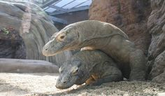 Komodo dragons make love