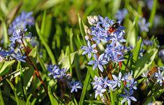 #bee #bloom #blue #blue star #flowers #forest plant #hummel #nature #spring awakening #spring flower #wild flower #wild plant
