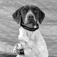 Meet Flash!   CA GSP Rescue Gsp Rescue, Southern Proper, Leash Training, German Shorthaired Pointer, Love People, Pointers, Adoption, I Am Awesome, Meet