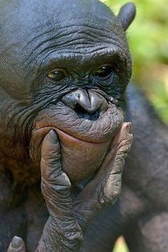Bonobo Now let me see. Primates, Mammals, Animals And Pets, Baby Animals, Funny Animals, Cute Animals, Amazing Animal Pictures, Funny Animal Pictures, Beautiful Creatures