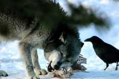 Wolf & Raven