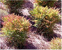 Moon Bay Nandina  medium size evergreen shrub  bright lime green foliage turns intense red in fall and winter  dense compact growth habit  full sun to part sun; grows 3-4' tall X 2-3' wide.  We have these in front and back.