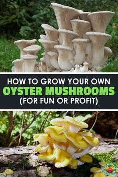 7 Best Oyster Mushroom Cultivation images in 2018 | Oyster mushroom