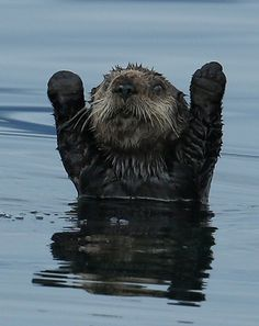 Northern Pacific Sea Otter