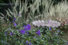 Ruellia simplex 'Purple Showers' near a birdbath with grasses | Flickr - Photo Sharing!