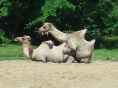 Kamele im Kölner Zoo    © by Silke Winter