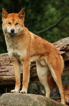 Carolina dog American dingo puppy I'm Gonna Die From