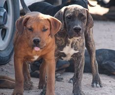 www.elitek-9.com  #bandogge, #protectiondogs, #CEO, #militaryk9, #exotics #vonriesig American Bandogge Mastiff, Executive Protection, Working Dogs, Dog Training, Labrador Retriever, Animals, Labrador Retrievers, Animales, Animaux