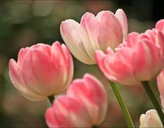 Bright and beautiful tulips, daffodils and hyacinths are welcome cues of spring's arrival. But to enjoy their lovely blooms, it requires a little planning ahead as spring flowering bulbs should be planted the previous fall. Pink Tulips, Tulips Flowers, Spring Flowers, White Tulips, Best Flower Pictures, Flower Images, Buy Plants Online, All About Plants, Spring Flowering Bulbs