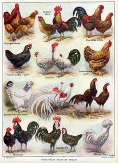 200 races de poules dans le monde mini ferme little farm pinterest blog. Black Bedroom Furniture Sets. Home Design Ideas