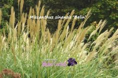 Miscanthus sinensis 'Berlin' - Roseau de Chine - Japanese Silver Grass