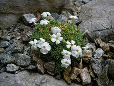 Phlox griseola subsp. tumulosa Nalu, Floral, Garden, Flowers, Jewelry, Jewlery, Bijoux, Florals, Lawn And Garden