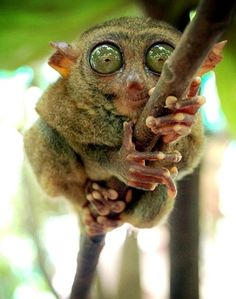 Philippine Tarsier.  Tarsier is the common name for any of the four species of primates found in Indonesia, Borneo and the Philippines. Tarsiers are smaller than full grown rats and have soft, furry bodies and thin limbs for leaping. Their most conspicuous feature however are their enormous goggle-like eyes. They are arboreal and mostly eat insects and lizards at night.