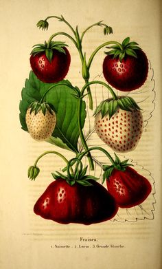 Belgique horticole. By Morren, Charles, 1807-1858  Morren, Edouard, 1833-1886 / Not in Copyright  (aka public domain) - http://www.biodiversitylibrary.org/item/131452#page/158/mode/1up