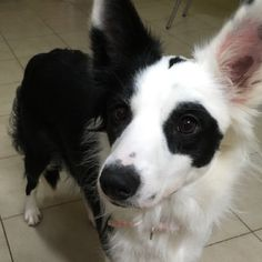 April the border collie Herding Dogs, Kitten Love, Australian Shepherds, Border Collies, Dog Quotes, Beautiful Boys, Rescue Dogs, Best Dogs, Gypsy