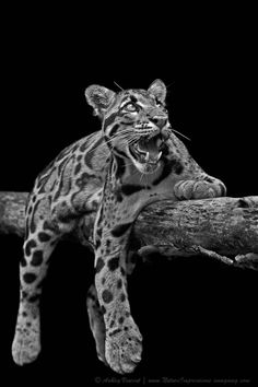 / Clouded Leopard ~ Star Gazer by Ashley Vincent, via Beautiful Cats, Animals Beautiful, Cute Animals, Big Cats, Cats And Kittens, Gato Grande, Clouded Leopard, Exotic Cats, Mundo Animal