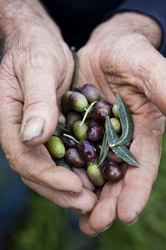 Lucini, Toscana, Italia l Olive Harvest l l Nicole Franzen Olives, Olive Harvest, Tree Seeds, Olive Gardens, Olive Tree, Toscana, Garden Supplies, Fruits And Vegetables, Veggies