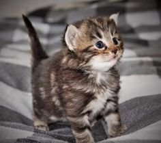 This is a 3 week old Norwegian Forest kitten and he is gawwwwgeous.