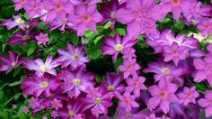 Футаж Король вьющихся растений HD