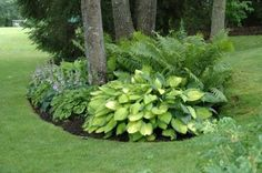 Hostas & Ferns shade border under trees
