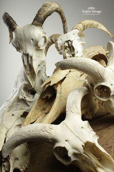 Reclaimed animal skulls, details below, rough dimensions in cm. Skull Width Height Depth Price A 25 . Sheep Skull, Spanish Armada, St Kilda, Human Skull, Animal Skulls, Art Inspo, Bones, Illustration Art, Lion Sculpture