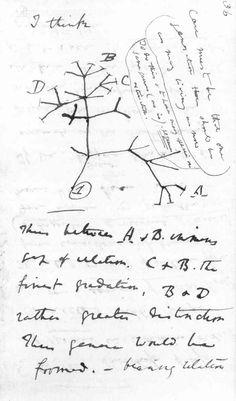 Arbre de l'évolution des espèces vivantes, à partir d'un ancêtre commun - arbre phylogénétique. Croquis de Darwin extrait du First Notebook on Transmutation of Species,1837.