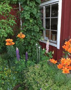 Liljorna utanför uthuset lyser upp den höstlika sommarkvällen vi har här idag🌿 Hoppas värmen hittar tillbaka, om två veckor är det semester💛 #uthus #liljor #brandliljor #humle #perennrabatt #mormorsblommor #minträdgård #höstlikt #blåseridag #kallsommarkväll #måndagskväll #snartsemester #nedräkningtillsemestern #lantliv #lupiner #iminträdgård #garden #junikväll #trädgårdsblommor #röttochvitt #faluröd Semester, Cottage, Garden, Plants, Instagram, Garten, Cottages, Lawn And Garden, Flora