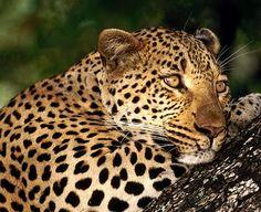 Animais que estão ameaçados de extinção na Amazônia:  Onça-pintada