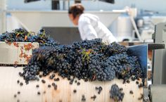 How our optical sorter picks the best grapes for our wonderful wines!