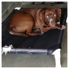 URGENT! Devin, 9 mos. old (A438620), has been at shelter for 5 days but not listed. He was adopted in Dec. but brought back. Holiday bliss is over. San Bernardino City Shelter. Please sare