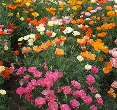 Plant Mission Bells California Poppy seeds for multi coloured poppies that are drought resistant and deer resistant for xeriscaping in coastal area gardens. Multi Colored Flowers, Colorful Flowers, Mission Bell, Cloudy Weather, Backyard Paradise, California Poppy, Blooming Flowers, Flower Seeds, Green And Grey