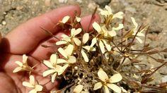 Pelargonium fissifolium - neophyte species in habitat