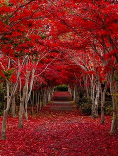Crimson Forest, Hokkaido, Japan I'm in love. Tree canopy trails are the most beautiful things in the world ❤️❤️❤️ Beautiful World, Beautiful Places, Amazing Places, Simply Beautiful, Trees Beautiful, Amazing Flowers, Wonderful Places, Tree Tunnel, All Nature